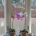 Orchids standing next to Bay window